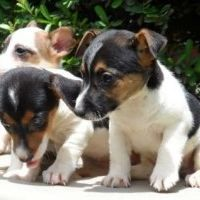 Cachorros de jack russel ¡garantia y seriedad! en Mascotas en venta en Clasifica y Vende