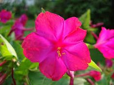 Image result for hot pink Mirabilis