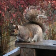 Squirrel on the deck outside my window