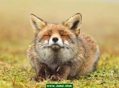 Fröhlicher Fuchs ist fröhlich