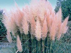 Tall Pink Grass #pixiemarket
