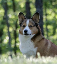 Corgi King--my gosh, that's a great looking boy!