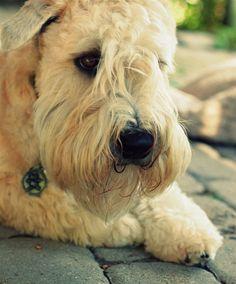 ♥ wheaten terrier