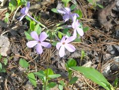 Periwinkle, Cades Cove, TN (My Own)