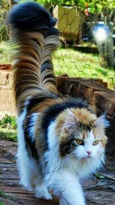 <--- not a Maine coon. Coons have short fur on their shoulders that get longer down their backs And they have partial ruffs and rectangular body shapes. This kitty could be a Norwegian forest cat or a ragamuffin mix or something. Pretty Cats, Beautiful Cats, Animals Beautiful, Pretty Kitty, Beautiful Pictures, Gatos Maine Coon, Maine Coon Cats, Cute Kittens, Cats And Kittens