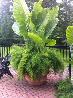 Elephant Ear and Asparagus Fern make a great plant combination for a container garden-and they're both easy to grow!: – Pots and planters at Longwood Gardens: Part II - Elephant Ear and Asparagus Fern make a great plant combination for a container g. Outdoor Plants, Outdoor Gardens, Potted Plants, Plants On Porch, Plants In Pots, Plants Indoor, Plant Pots, Shade Plants, Asparagus Fern