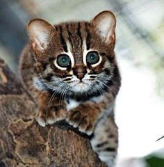 Rusty-Spotted Cats are the world's smallest wild cats, weighing only 2.0 to 3.5 lb (0.9 to 1.6 kg) as adults. ♥