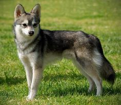 Wonderful All About The Siberian Husky Ideas. Prodigious All About The Siberian Husky Ideas. Alaskan Klee Kai, Alaskan Husky, Miniature Husky, Mini Huskies, Dog Travel, Beautiful Dogs, Goldendoodle, Dog Life, I Love Dogs