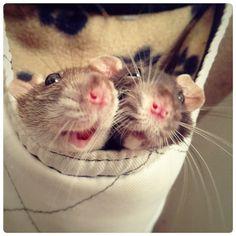 Mein Leben mit Ratten