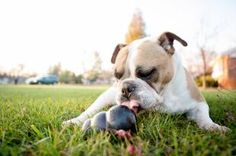 Buy Kong Classic Stuffable Chew Toy for Pets lbs. (Large) at online store Toy Puppies, Dogs And Puppies, Toy Dogs, Kong Dog Bed, Fun Facts About Dogs, Pet Ball, Dog Enrichment, Dog Training Equipment, Dog Games
