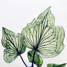 I know I shouldn't have a favorite but…. this Caladium was the first and it… - House Plants Foliage Plants, Potted Plants, Garden Plants, Indoor Plants, Indoor Cactus, Cactus Cactus, Indoor Outdoor, Container Plants, Container Gardening