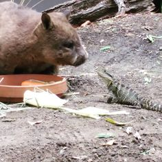 Wombat vs dragon #currumbinwildlifesanctuary #wombatsaresofreakingcute #australianfauna #wildlife #marsupial #reptile #Currumbin #staringcontest #wombat #dragon #cute #goldcoast #Australia #furry #scaly by deb.bilulu http://ift.tt/1X9mXhV