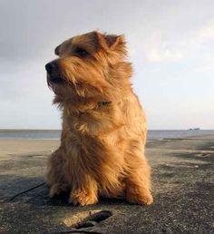 Norfolk Terrier: Red Cherubim's Bombastic