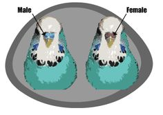 Adult budgie sexing