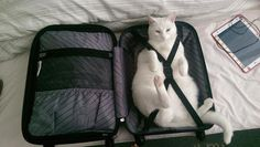 Pro travel tip: only pack the essentials  photo cred: unimpressedcats.tumblr.com #catlady #traveltips #travel by tremendoustimes