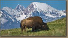 National Bison Range, Montana..just amazing  Google Image Result for http://hugefloods.com/National-Bison-Range.jpg