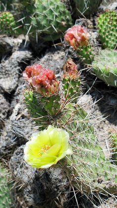 8. Badlands:  Blooming cactus on Sheep Mountain Table