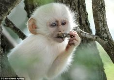article-2589986-1C92E11F00000578-491_634x4481 The Only White Monkey in the Whole World