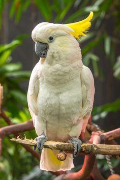 Hello, My Name is Malibu, and I am a Sulphur Crested Cockatoo Pretty Birds, Beautiful Birds, Animals Beautiful, Cute Animals, Macaw Parrot For Sale, Parrot Bird, Rare Birds, Exotic Birds, Tropical Birds