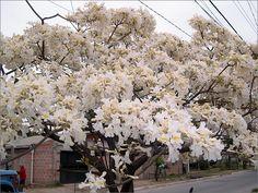 El lapacho blanco es un albinismo del lapacho rosado y solo se reproduce de gajos, si se planta de semilla sale el Lapacho de flor rosada.
