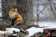 marvelous fox