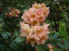 Thank you for taking a look at one of our several hundred Hybrid Rhododendrons we have for sale on Etsy and our website! At RhododendronsDirect.com, all we do is Rhododendrons!     Product Description    Bloom Color:  Bright Pink that fades to coral, then to apple blossom pink.    Bloom Season:   Early Mid Season    Plant Height(potential in 10 years): 3 Feet    Hardy to: -10    Container Size/Age:  Two Gallon Plant -  These rhododendrons are typically rooting into a two gallon container or…