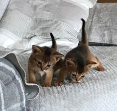 Cute Cats And Kittens, Big Cats, Kittens Cutest, Pretty Kitty, Abyssinian, North Africa, Four Legged, Pet Birds, Creatures