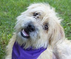 Meet Norman, an adoptable Wheaten Terrier looking for a forever home. If you're looking for a new pet to adopt or want information on how to get involved with adoptable pets, Petfinder.com is a great resource.