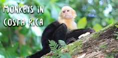 Information about the 4 species of monkeys in Costa Rica and where to see them: Spider Monkeys, White Face Monkeys, Howler Monkeys and Squirrel Monkeys