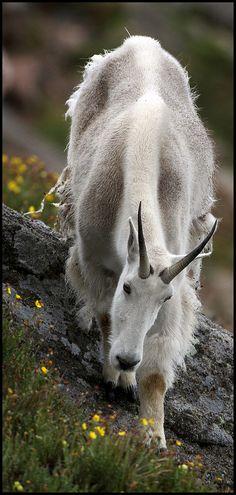 La cabra blanca (Oreamnos americanus), también llamada cabra de las Rocosas, es…