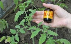 Достаточно одной капли йода, чтобы вы не узнали свой огород. Шикарный урожай обеспечен - Ok'ейно.plus