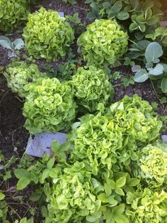 Kæmpe salat
