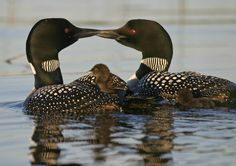 MN State bird...Loons with baby. One of my favorite birds to watch!