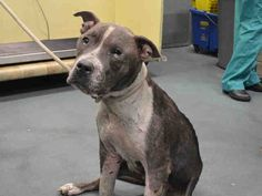 """EVEREST- A1051563 SUPER URGENT! NEEDS 2 BE SAVED NOW!!! CONTACT RESCUES!!! BITE WOUNDS, VERY HARD LIFE 4 THIS PRECIOUS LIL GIRL!! 7YR OLD SWEETIE!! TERRIFED, HEARTBROKEN N FEELING COMPLETELY ABANDONED NOW, ALL ALONE WITH HOUSEMATES """"RUSHMORE A1051564"""" n """"MOUNTAIN A1051565"""" ALL HAVE BEEN ABUSED N HAVE BITE WOUNDS, HARD LIFE 4 ALL THESE SWEET DOGS!! WE R THEIR ONLY VOICE N HOPE 4 SURVIVAL OUT OF HERE ALIVE! DONT WAIT, THEY WILL KILL THEM! WONT U PLEASE MAKE THEIR LAST WISHES COME TRUE? LIFE:))"""