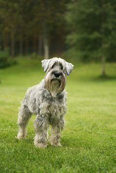 Schnauzer who looks like our beautiful Henry xx Standard Schnauzer, Mini Schnauzer, Miniature Schnauzer, I Go To Work, Love Pet, Beautiful Boys, Cute Dogs, Cute Animals, Dog Things