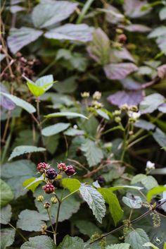 Blackberries   www.flotteliselotte.de