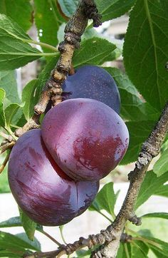 Familiar fruits such as apricots, peaches, nectarines, and cherries all belong to the Prunus genus. Learn about 19 different Prunus trees and shrubs. Exotic Fruit, Tropical Fruits, Japanese Plum Tree, Tree Care, Selection, Stone Fruit, Prunus, Delicious Fruit, Veggies