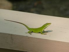 Anole.  Isn't he cute?