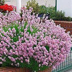 Photo de  Lavande rose,  Lavandula angustifolia Rosea existe en plusieurs tailles