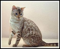 Snow Spotted Bengal - these are beautiful creatures!
