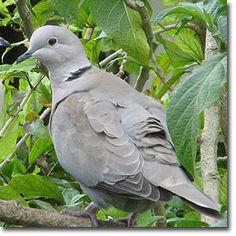 Identifying Doves