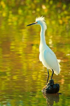 The Snowy Egret