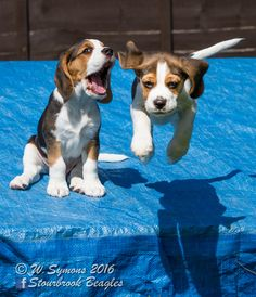 Beagle puppies playing together