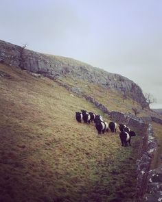 Belted Galloway bullocks Knipe Scar in Littondale by hilltopfarmgirl Galloway Cattle, Yorkshire Dales, Oreos, The Ranch, Norfolk, Cows, Great Britain, Farming, Wales