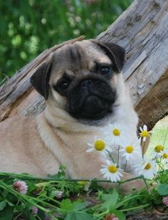 Cute Pug Puppy with daisies