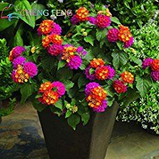 Searching for affordable Lantana Plant in ? Buy high quality and affordable Lantana Plant via sales. Enjoy exclusive discounts and free global delivery on Lantana Plant at AliExpress Lantana Bush, Lantana Plant, Lantana Tree, Perrenial Flowers, Lantana Flower, Full Sun Flowers, Bright Flowers, Cactus E Suculentas, Sun Loving Plants