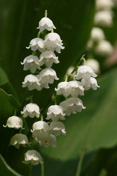 Muguet....Lily of the Valley...sweetness and return of happiness