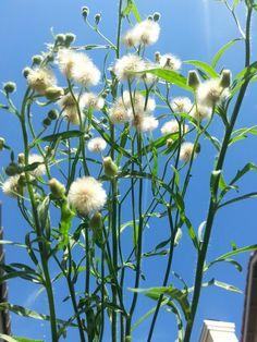 Beautiful weeds