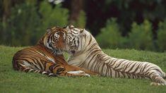 hd-achtergrond-met-twee-tijgers-aan-het-knuffelen-hd-tijger-wallpaper-foto.jpg (1600×900)