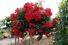 Штамбовые розы – это не вид розы и не сорт, а просто искусственная форма, созданная в результате прививки сортовой розы на стебель шиповника на высоте до 2 м. В результате получается деревце, корень и стебель которого принадлежат шиповнику, а пышно цветущая крона - сорту розы.